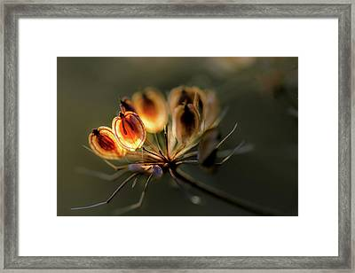 A Touch Of Sunshine On Dill Seeds Framed Print