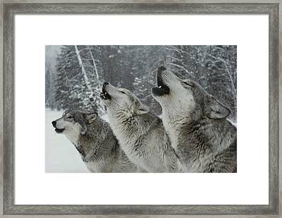 A Trio Of Gray Wolves, Canis Lupus Framed Print by Jim And Jamie Dutcher