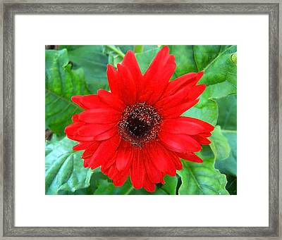 Framed Print featuring the photograph A True Red by Sandi OReilly