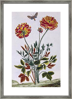 A Variety Of Double Flowered Yellow Poppy Framed Print by Pierre-Joseph Buchoz