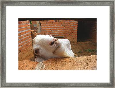 A Visit With A Smiling Goat Framed Print