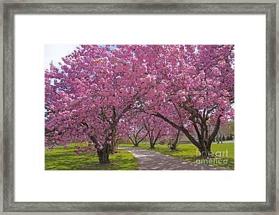A Walk Down Cherry Blossom Lane Framed Print by Cindy Lee Longhini