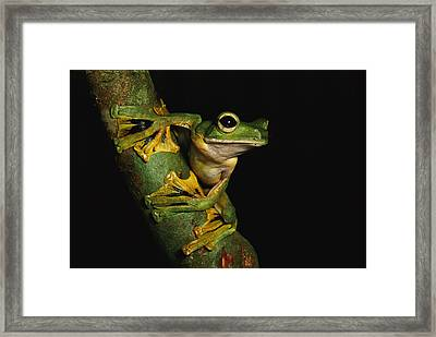 A Wallaces Flying Frog Framed Print by Tim Laman
