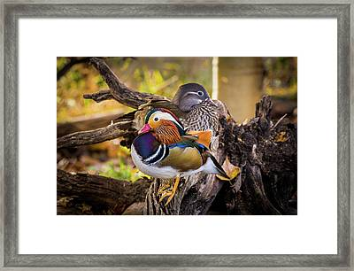 A Watchful Eye - Mandarin Ducks Framed Print