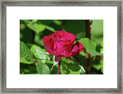 A Watered Rose  Framed Print