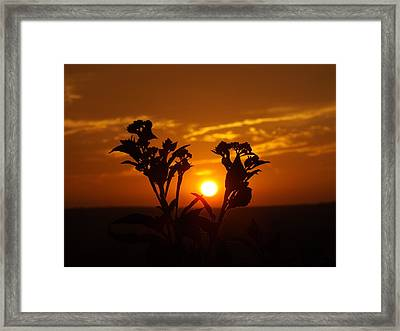 A Weed Sunset Framed Print by Rebecca Cearley