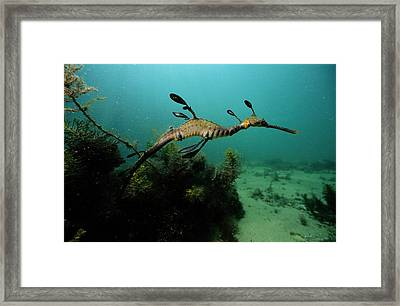 A Weedy Sea Dragon, Perhaps Framed Print by George Grall