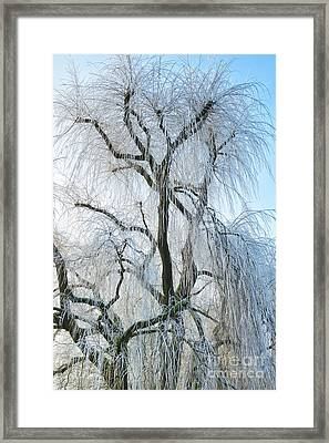 A Weeping Winter Willow  Framed Print