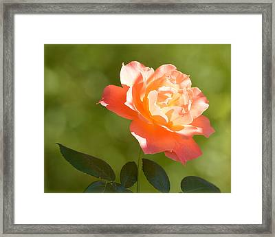 Framed Print featuring the photograph A Well Lighted Rose by AJ Schibig