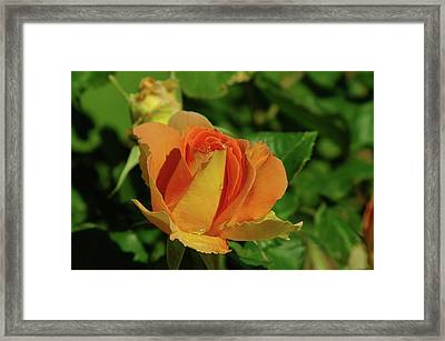 A Wet Rose  Framed Print by Jeff Swan