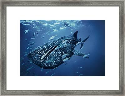 A Whale Shark Framed Print