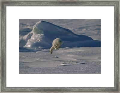 A White Arctic Fox, Alopex Lagopus Framed Print