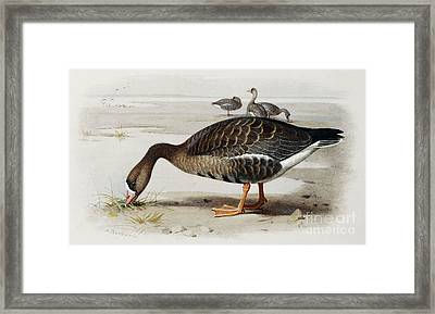 A White Fronted Goose Framed Print by Archibald Thorburn