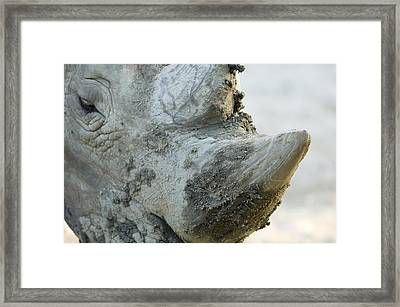 A White Rhino At The Henry Doorly Zoo Framed Print