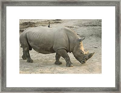 A White Rhino At The Omaha Zoo Framed Print by Joel Sartore