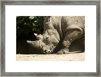A White Rhino Sniffs The Dust Framed Print by Joel Sartore