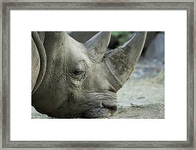 A White Rhino Sniffs The Muddy Ground Framed Print by Joel Sartore