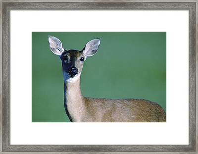 A White-tailed Deer On The Prairie Framed Print by Joel Sartore