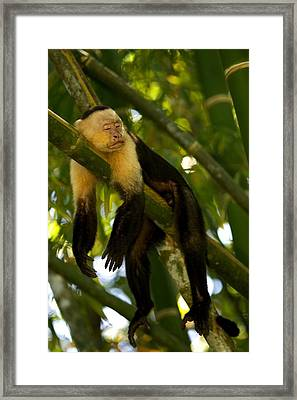 A White-throated Capuchin Monkey Framed Print by Roy Toft