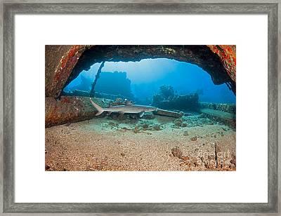 A Whitetip Reef Shark  Triaenodon Framed Print by Dave Fleetham