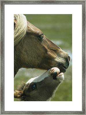 A Wild Pony Foal Nuzzling Its Mother Framed Print by James L. Stanfield