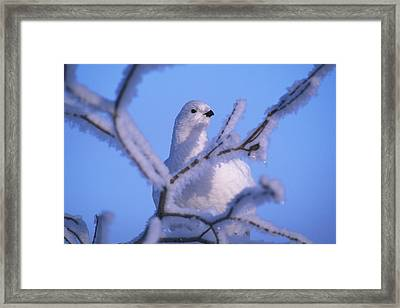 A Willow Ptarmigan Framed Print by Nick Norman