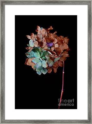 Winter Hydrangea Framed Print by Masako Metz