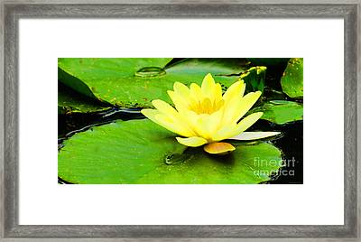 A Yello Nympheas Framed Print by MaryJane Armstrong