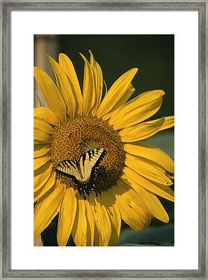 A Yellow Swallowtail Framed Print