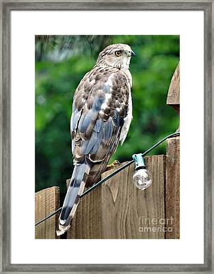 A Young Coopers Hawk  Framed Print