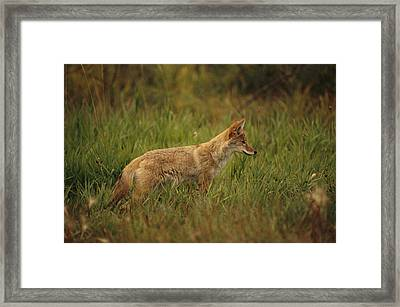 A Young Coyote Framed Print
