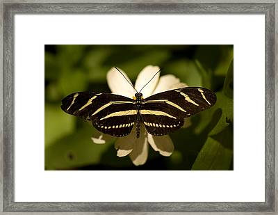 A Zebra-winged Butterfly At The Lincoln Framed Print by Joel Sartore