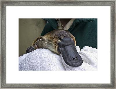 A Zookeeper Cradles A Platypus As Part Framed Print by Jason Edwards