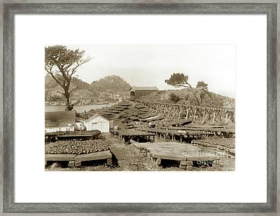 Abalone Drying Racks On Coal Chute Point Sept 19, 1905 Framed Print by California Views Mr Pat Hathaway Archives
