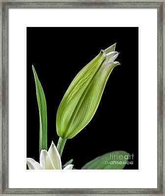 White Oriental Lily About To Bloom Framed Print