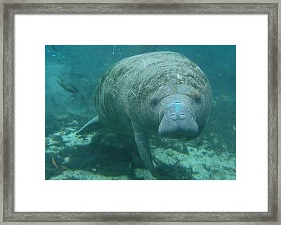 About To Meet A Manatee Framed Print by Kimberly Mohlenhoff