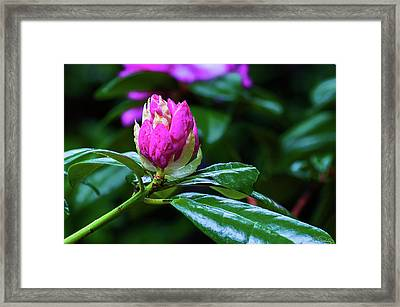 About To Unfold Framed Print