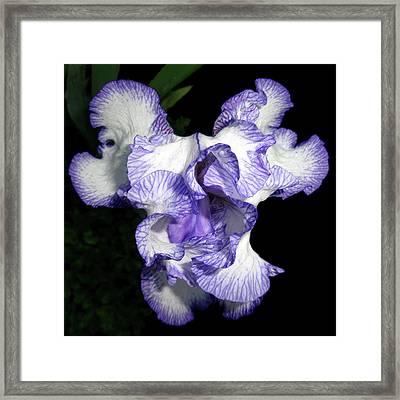 Above A Purple Edged Iris Framed Print by Tara Hutton