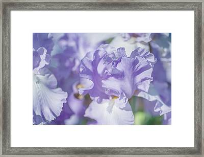 Absolute Treasure Closeup. The Beauty Of Irises Framed Print