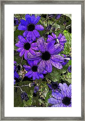 Abstract Blue Pericallis Framed Print by Mina Thompson
