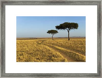 Acacia Trees In The Maasai Mara Framed Print by Nigel Hicks