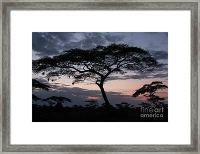 Acacia Trees Sunset Framed Print by Chris Scroggins