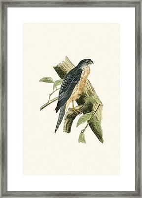 Accipiter Sphenurus Framed Print by English School