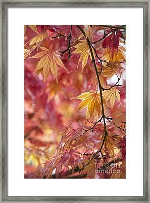 Acer Palmatum Elegans Framed Print