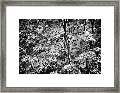 Acer Palmatum Sango Kaku Tree  Framed Print