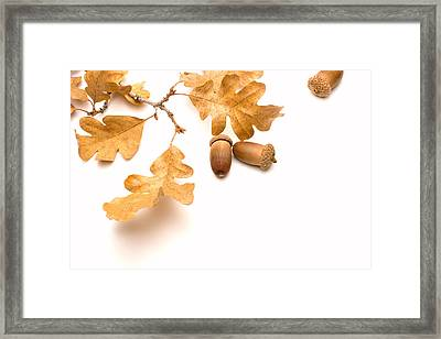 Acorns And Oak Leaves Framed Print by Utah Images