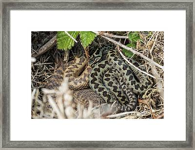 Adder Pair Framed Print