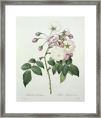 Adelia Aurelianensis Framed Print by Pierre Joseph Redoute