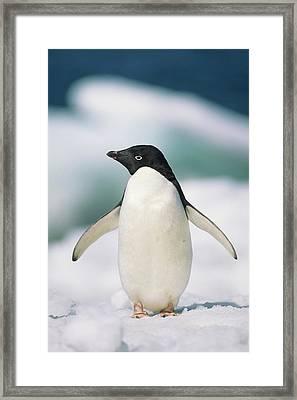Adelie Penguin, Close-up Framed Print by Tom Brakefield