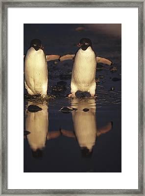 Adelie Penguin Pygoscelis Adeliae Pair Framed Print